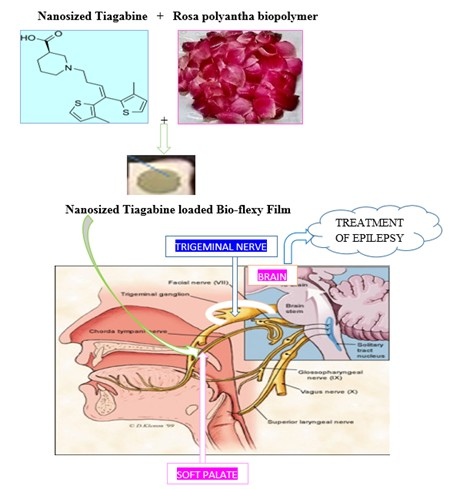 Bio-flexy film formulation for delivery of tiagabine via oro trans-soft palatal route and its in-vitro stability study approach
