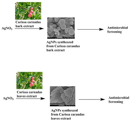 Biosynthesis of silver nanoparticles using leaf and bark extract of indian plant carissa carandas, characterization and antimicrobial activity